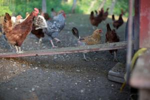 Black Sheep Hill Chickens